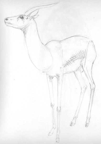 pencil sketch of Thompson's gazelle